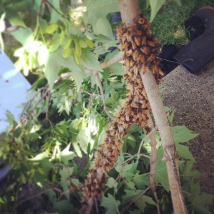 The bees, photo by Kim Giannone