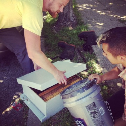 Dumping the bees into the empty nuc. photo by Kim Giannone